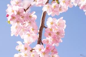 Cherry-Blossoms-11
