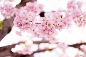 Cherry-Blossoms-12