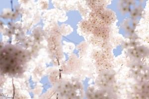 Cherry-Blossoms-3