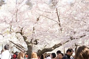 Cherry-Blossoms-4