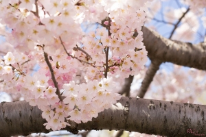 Cherry-Blossoms-5