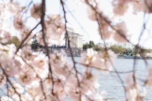 Cherry-Blossoms-7