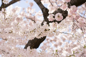 Cherry-Blossoms-8