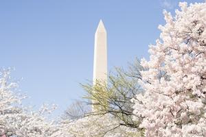Cherry-Blossoms-9